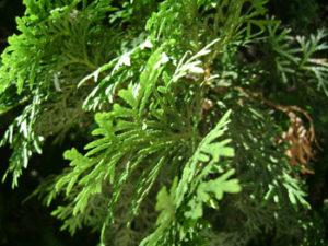 Пихтовое дерево